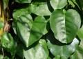 Plantas medicinais, aromáticas e bioativas, podera ser mais uma alternativa de fonte de renda
