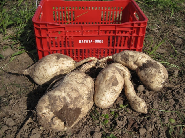 Cultivar de batata-doce BRS Gaita é lançada para dupla finalidade