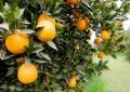 Indicações técnicas para o cultivo de citros no Rio Grande do Sul