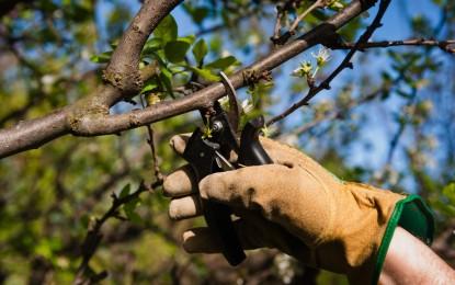 Como realizar podas em árvores frutíferas
