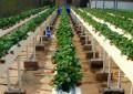 Morango: Plantio em calhas de poliestireno com linha única de plantas