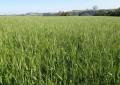 Primeiras lavouras de trigo em fase de floração