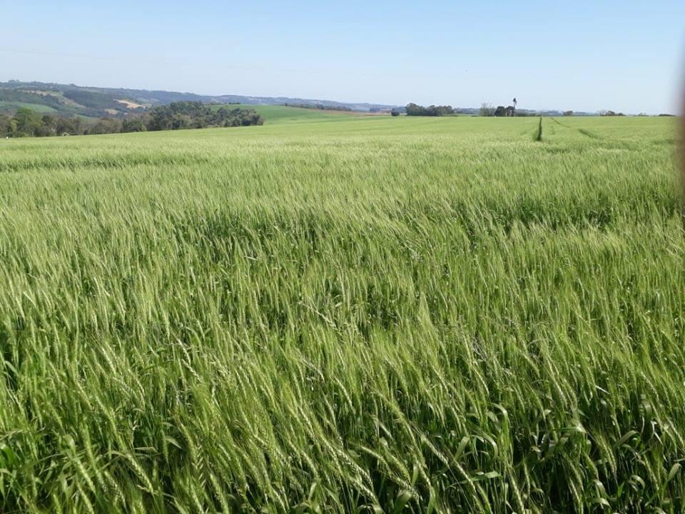 Inicia floração do trigo no RS