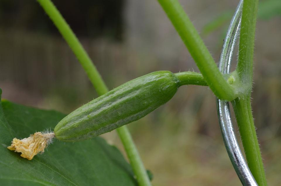 Novas técnicas no cultivo do pepino