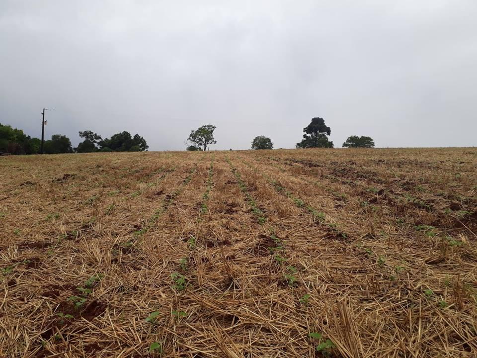 Inicia germinação da soja nas primeiras lavouras no RS