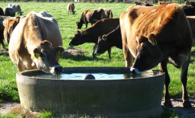 A importância da disponibilidade de água nos piquetes para vacas leiteiras