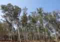Plano Nacional de Florestas Plantadas é lançado no Mapa