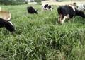 Cadeia do leite tem redução de produtores e rebanho e aumento da produtividade