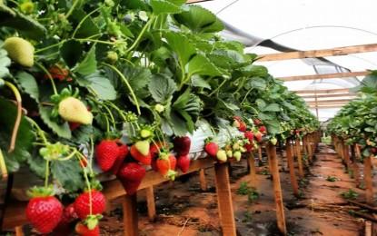 Mudas de morangos importadas do Chile