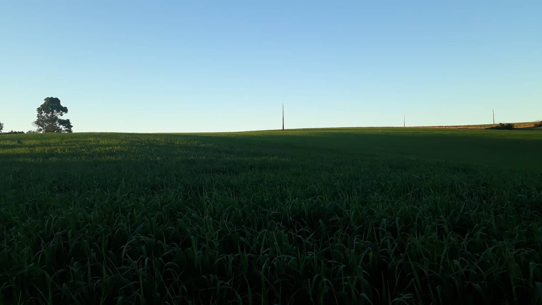 Pesquisa vai caracterizar formas de manejo para reduzir custos de produção no trigo