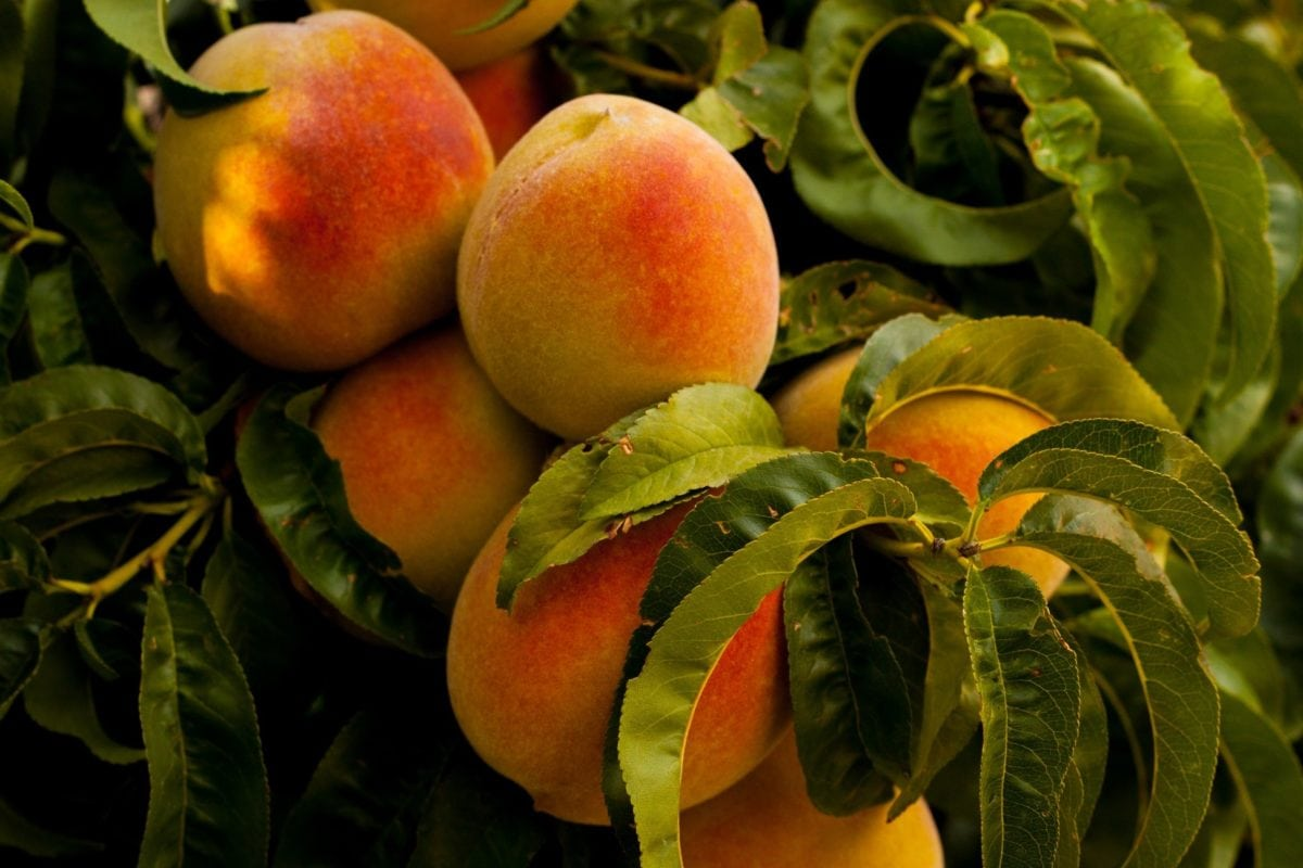 Chegou a hora de monitorar as mosca-das-frutas nos pomares
