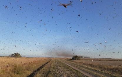 Ministério liberará R$ 600 mil para combater nuvem de gafanhotos no RS