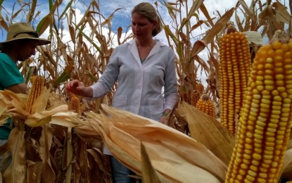 Fungo aumenta produtividade de milho em 2,4 mil quilos por hectare