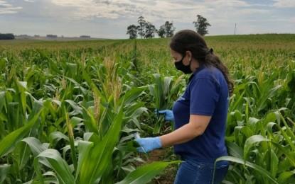 RS monitora surgimento de cigarrinhas em lavouras de milho