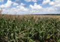 Produtores tiveram bons rendimentos com safrinha de milho, feijão e pastagens após a colheita do tabaco